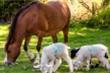 Bản năng làm mẹ trỗi dậy, ngựa nuôi đàn cừu mồ côi