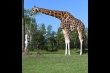 'Choáng' với hươu cao cổ cao nhất thế giới