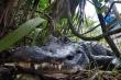 Khả năng 'tái sinh' phi thường của cá sấu