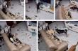 Dân mạng cười lăn xin tha tội cho chú chó phá nát nhà cửa rồi ra vẻ tội nghiệp