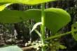 Loài cây kỳ lạ có nọc độc giống như bọ cạp