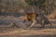 Kinh hãi sư tử tàn nhẫn, ăn thịt đồng loại nhỏ hơn